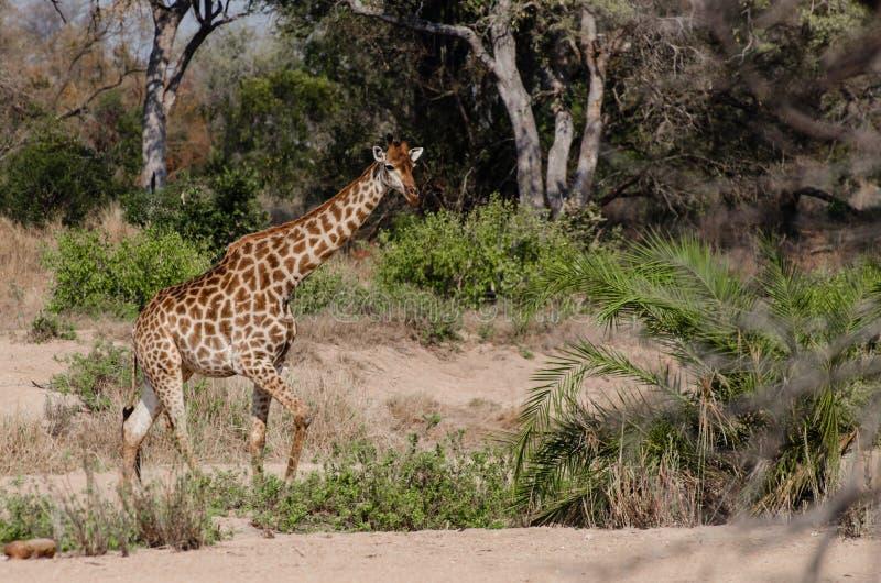 Girafe fonctionnant à travers les sables vers le troupeau photo libre de droits