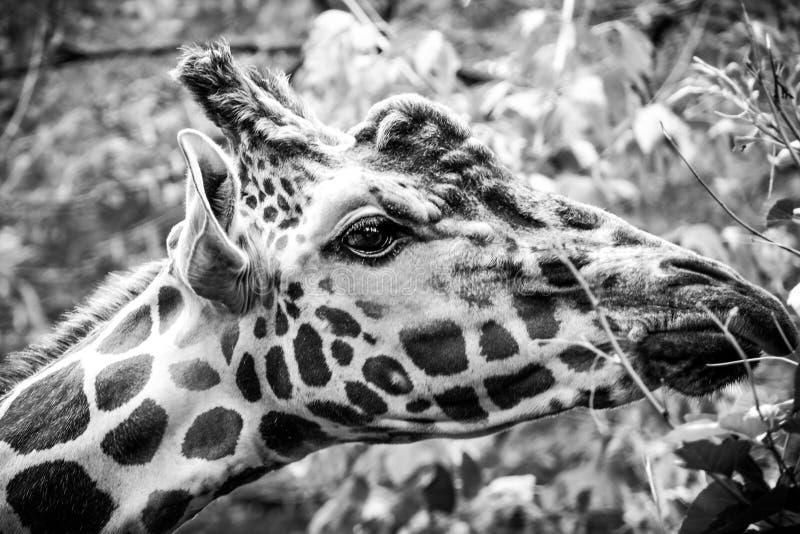Girafe grincheux en noir et blanc images stock