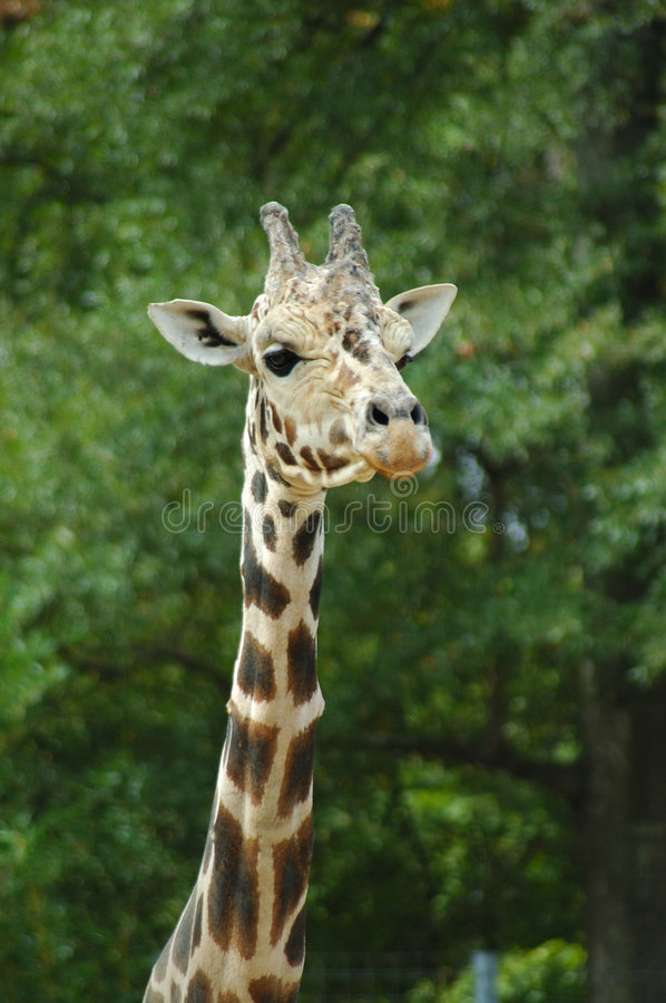 Download Girafe head and neck stock image. Image of wildlife, head - 6743657