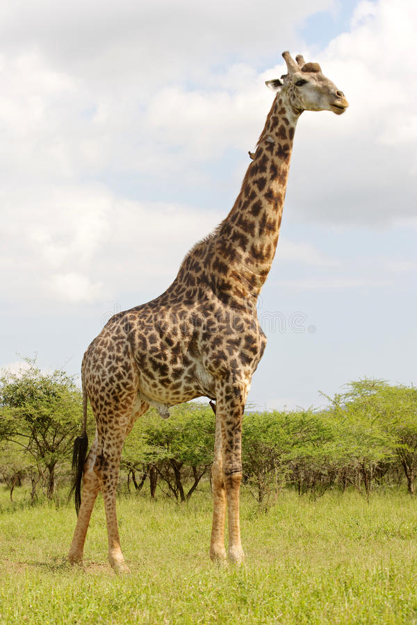 Girafe mûre photo libre de droits