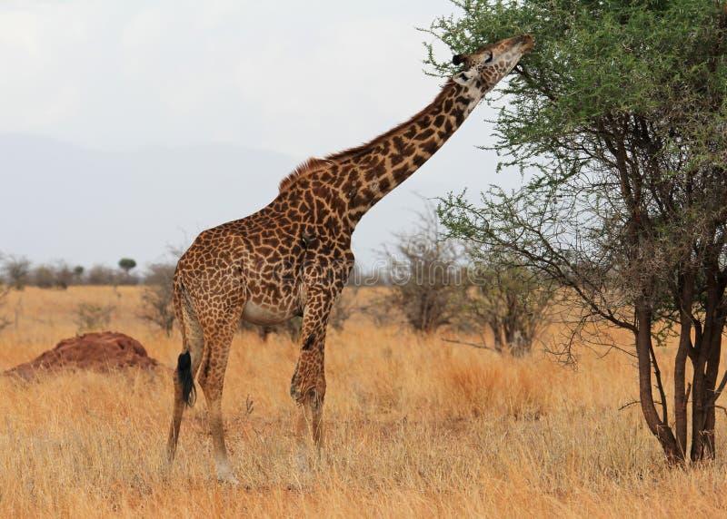 Girafe mangeant dans la savane images stock
