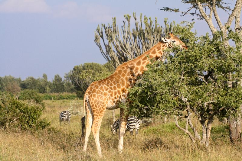 Girafe mangeant la végétation sur la savane kenyane photographie stock libre de droits