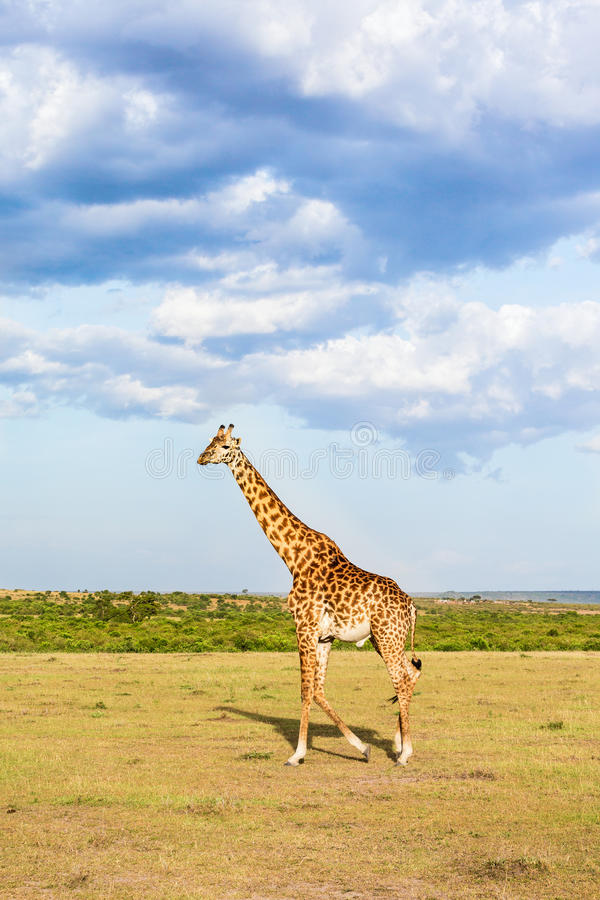 Girafe marchant dans la prairie photo stock