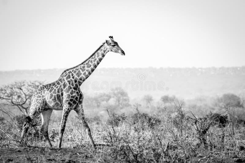 Girafe marchant dans le buisson en noir et blanc photo stock