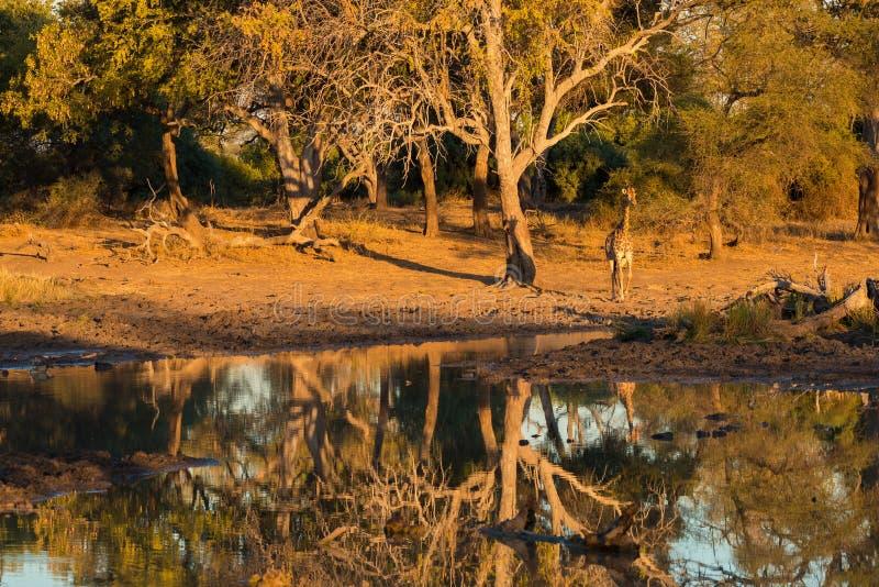 Girafe marchant vers le point d'eau au coucher du soleil Safari de faune en parc national de Mapungubwe, Afrique du Sud Lumière c photo libre de droits