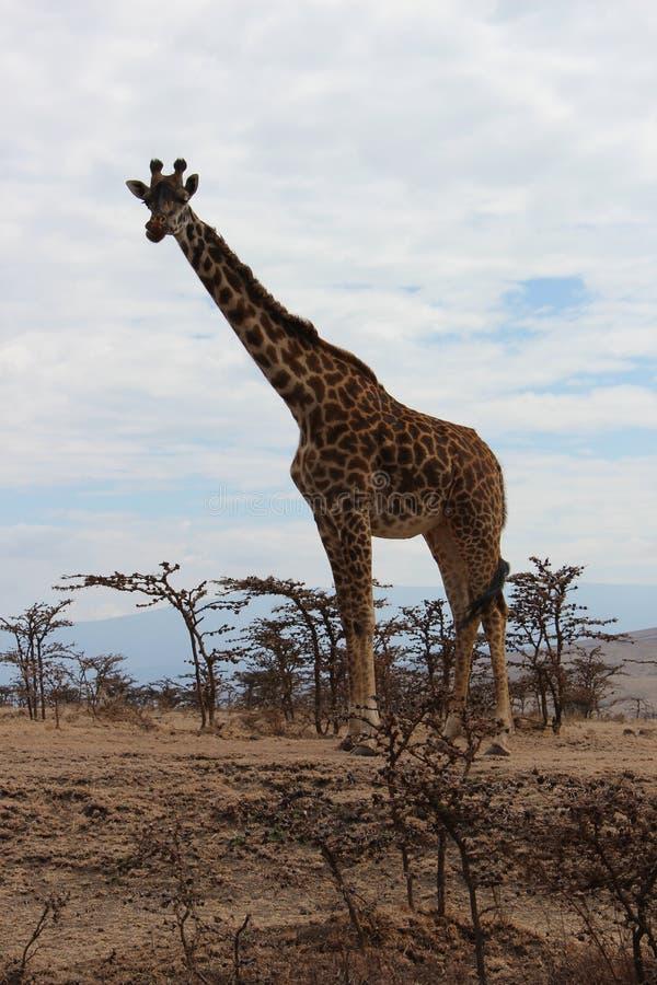 Girafe na terra fotos de stock royalty free
