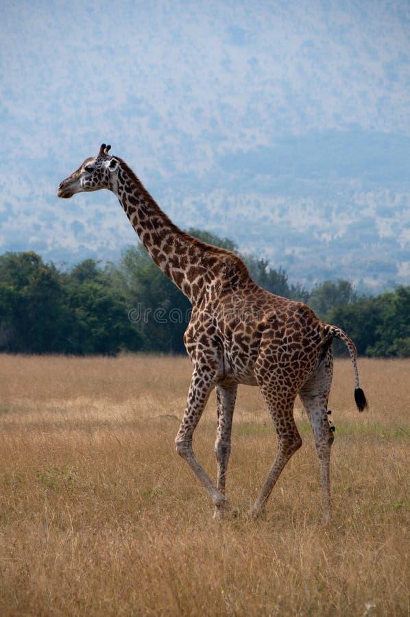 Girafe Pooping images libres de droits