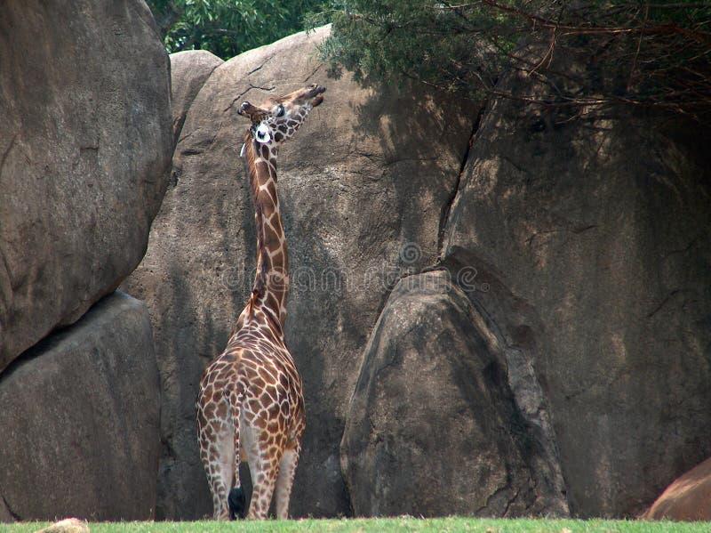 Girafe s'étirant pour la végétation élevée images libres de droits