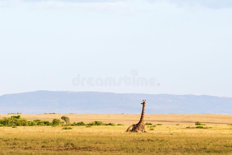 Girafe se couchant dans le paysage images libres de droits
