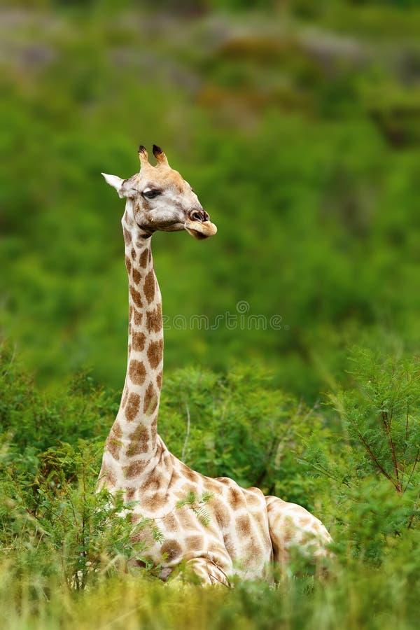 Girafe se reposant pendant un jour d'étés frais photos libres de droits