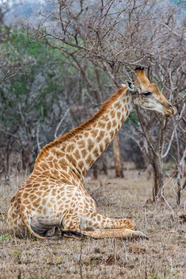 Girafe se situant en parc de kruger images stock