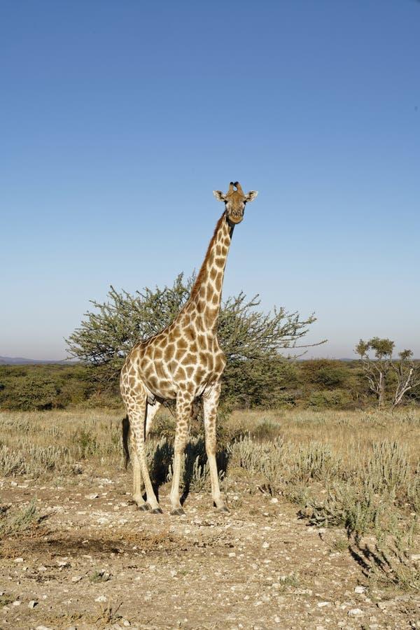 Girafe se tenant grande dans le paysage africain de Bush-plaine avec l'arbre d'acacia sous le ciel bleu à la réserve naturelle d' photographie stock libre de droits