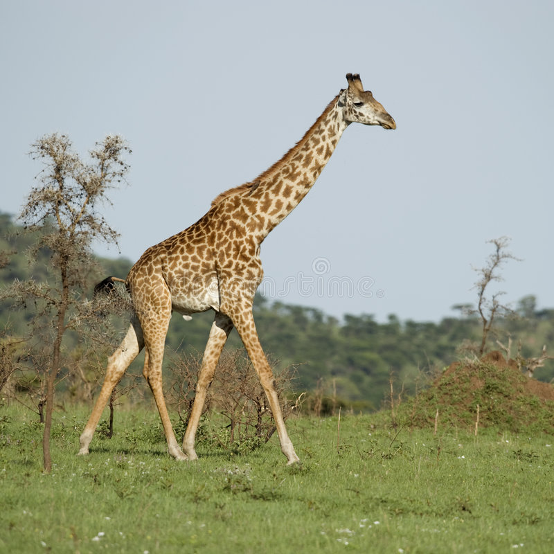 Download Girafe in the Serengeti stock image. Image of trip, observation - 7136289