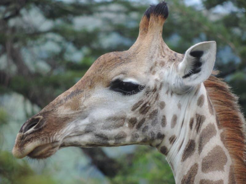 Girafe sud-africaine chez l'Afrique du Sud photos libres de droits