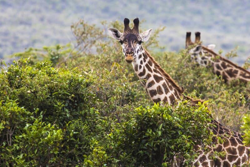 Girafe sur la commande sauvage de safari, Kenia photos stock
