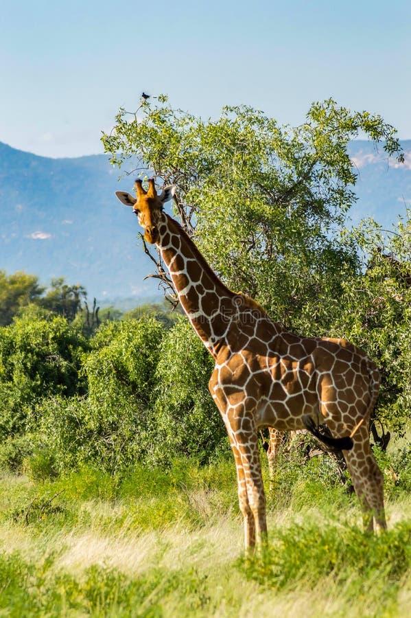 Girafe traversant le sentier du parc Samburu photos libres de droits