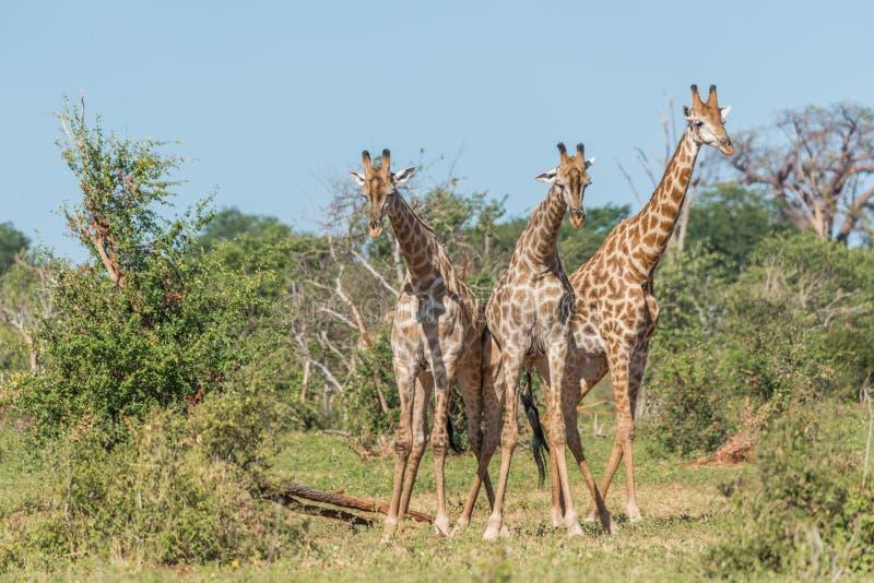 Girafe trois sud-africaine contestant un un autre images stock