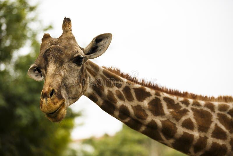 Girafe in un parco della fauna selvatica fotografia stock