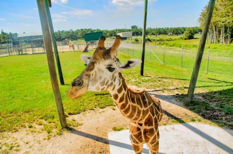 Girafe vers le haut des cloes photos stock