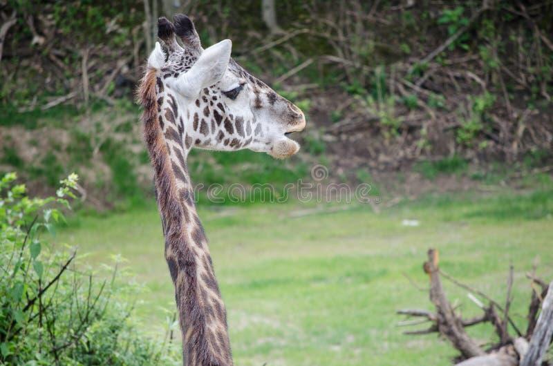Girafes photographie stock libre de droits