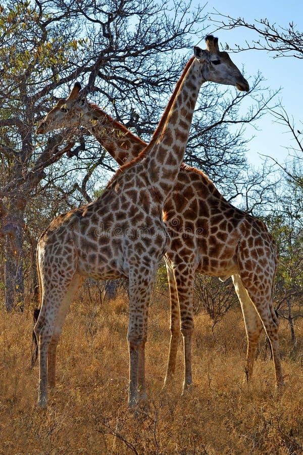 Girafes Afrique hommes-femmes Savana de girafe photos libres de droits