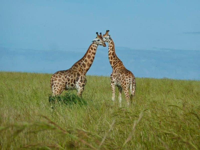 girafes au Kenya à l'été photos libres de droits