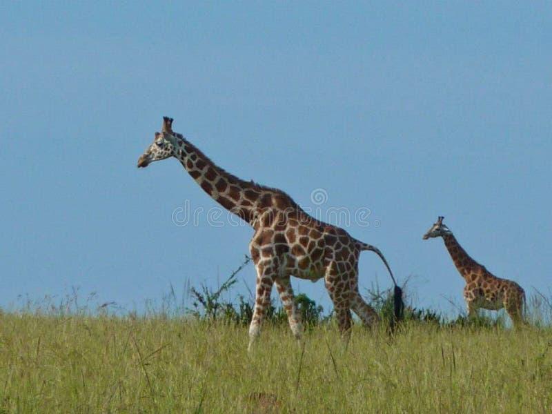 girafes au Kenya à l'été images libres de droits