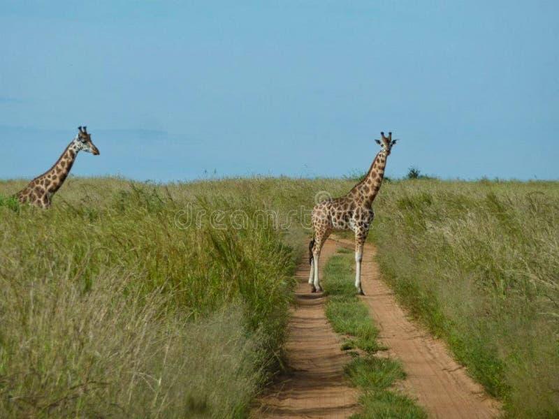 girafes au Kenya à l'été photo libre de droits