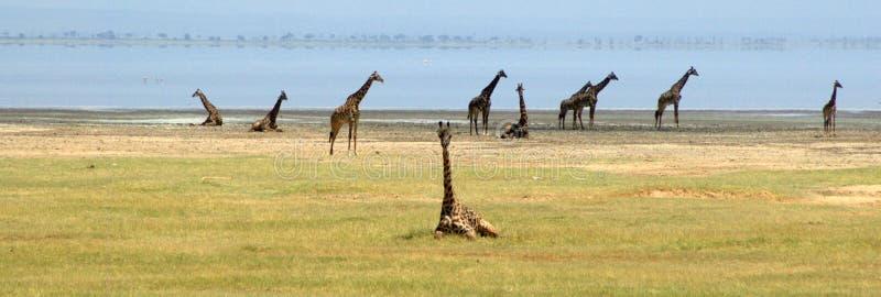 Girafes au lac Manyara en Tanzanie photos stock