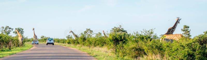 Girafes dans des tours d'animal de parc de kruger photos libres de droits