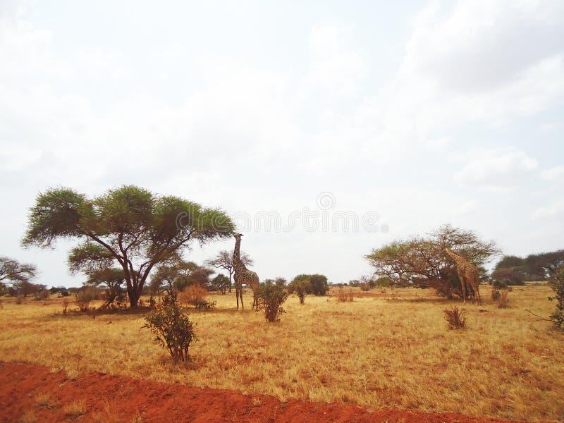 Girafes dans la région sauvage photo stock