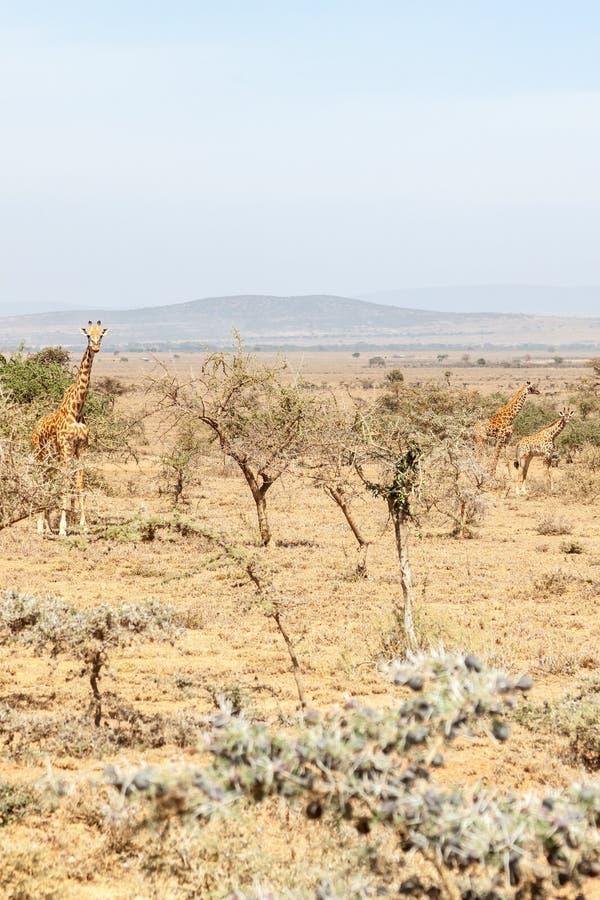 Girafes dans la savane sèche photo stock