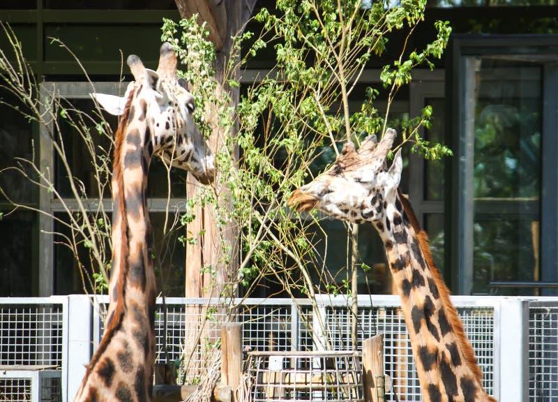 Girafes dans le jardin zoologique GIRAFFA CAMELOPARDALIS ROTHSCHILDI photo libre de droits