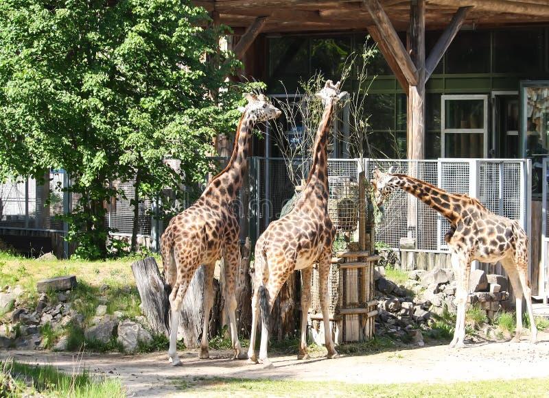 Girafes dans le jardin zoologique GIRAFFA CAMELOPARDALIS ROTHSCHILDI photos stock