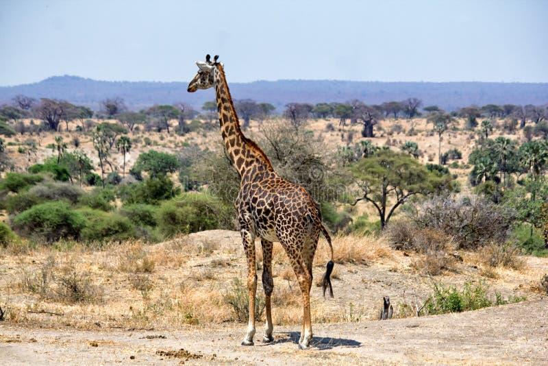 Girafes dans Tarangire images libres de droits