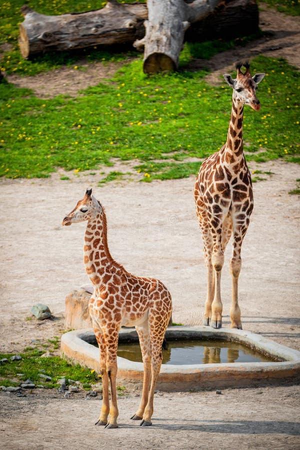 Girafes de bébé dans un zoo images libres de droits