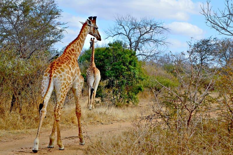 Girafes de girafe échappant à la savane de l'Afrique images stock