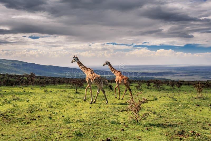 Girafes de marche photos stock
