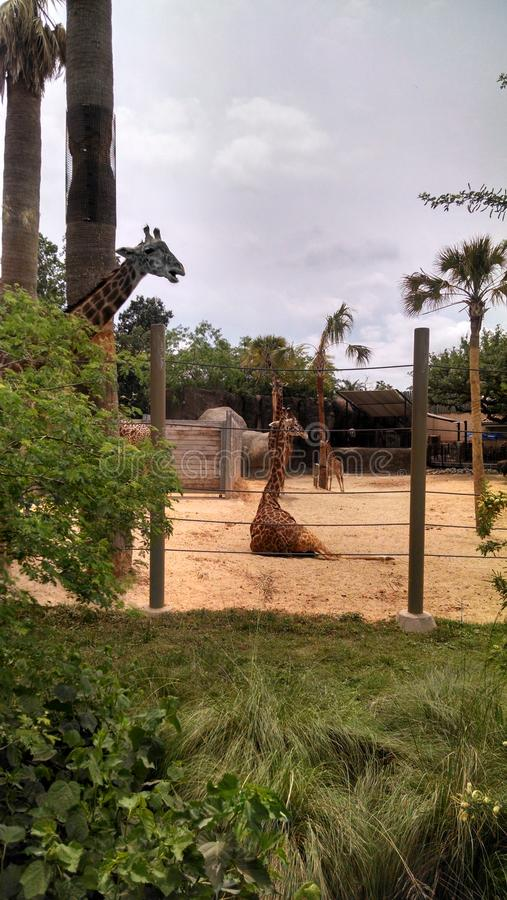 Girafes en Houston Zoo images stock