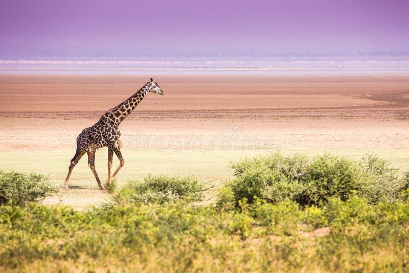 Girafes en parc national de Manyara de lac, Tanzanie images stock