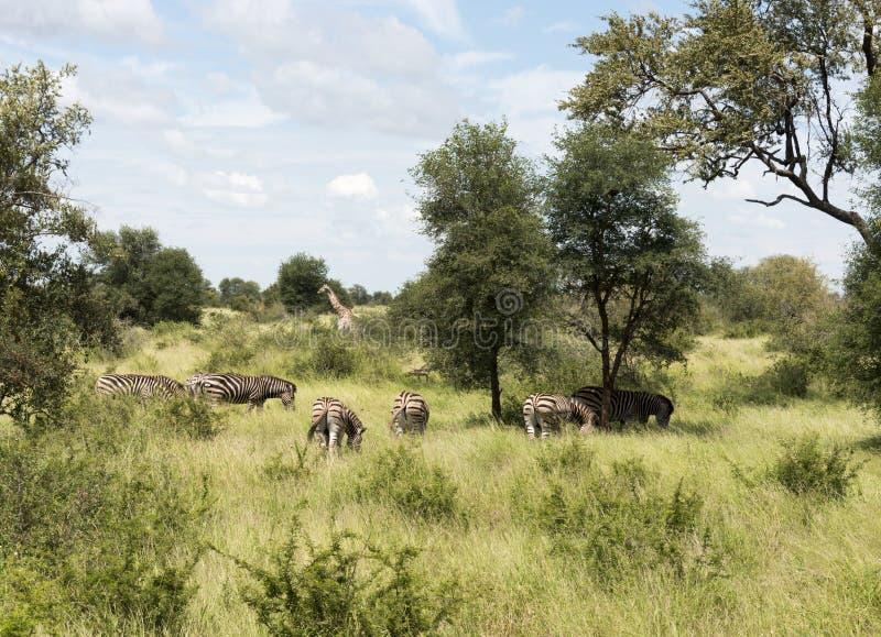 Girafes et zèbres dans le krugerpark photos libres de droits