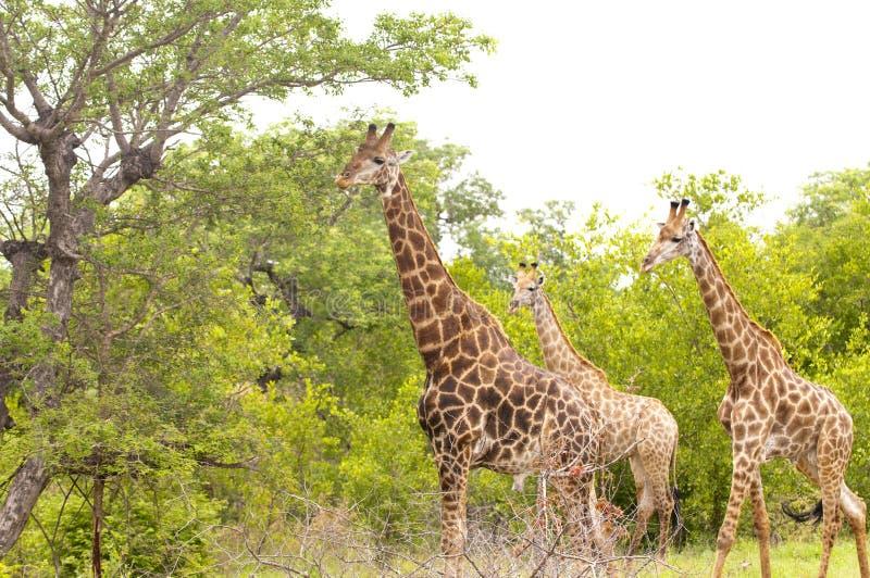 girafes kruger国家公园 库存图片
