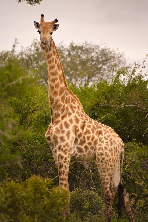 Girafes nella sosta nazionale di Kruger fotografie stock