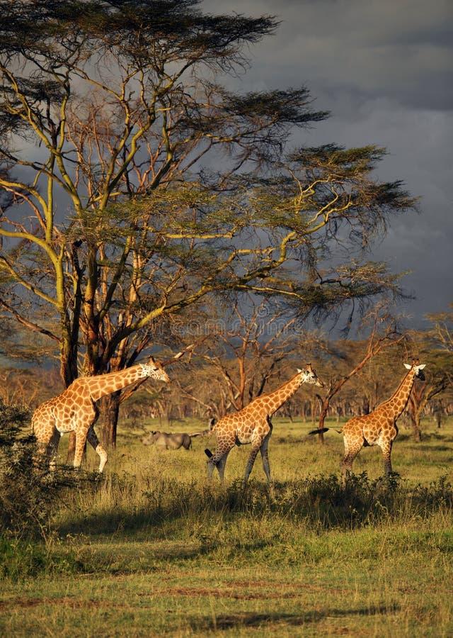 3 girafes no meio de um parque nacional no lago Nakuru National Park fotos de stock