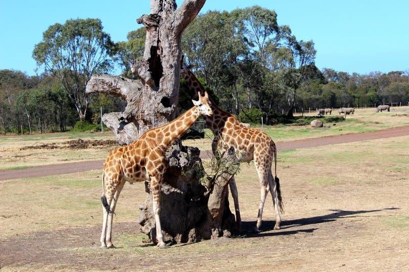Girafes par l'arbre mort photos stock