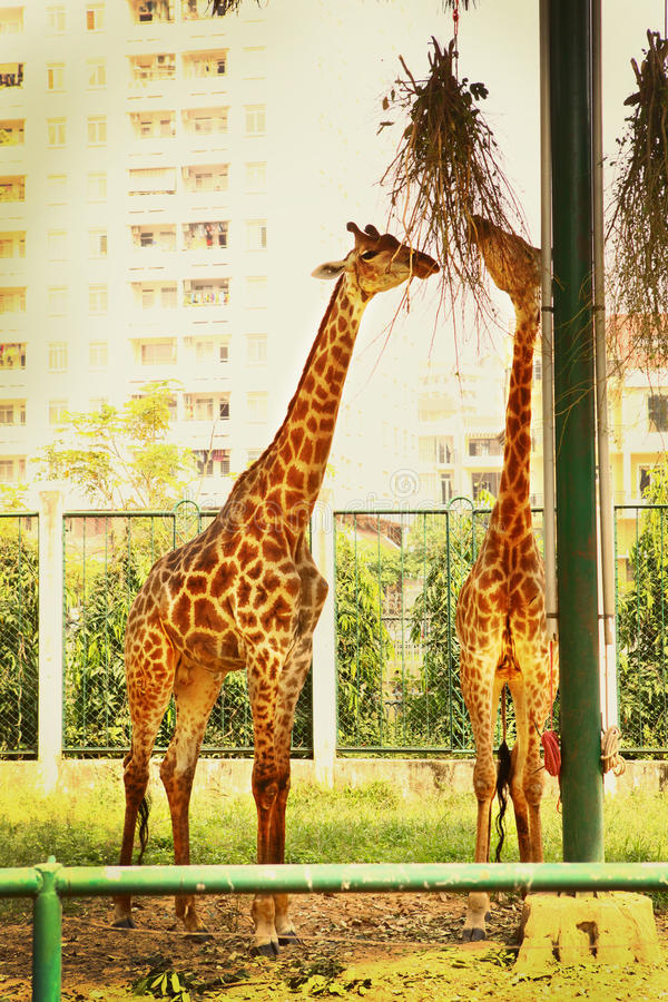 Giraff在吃从树叶子的动物园里 免版税库存照片