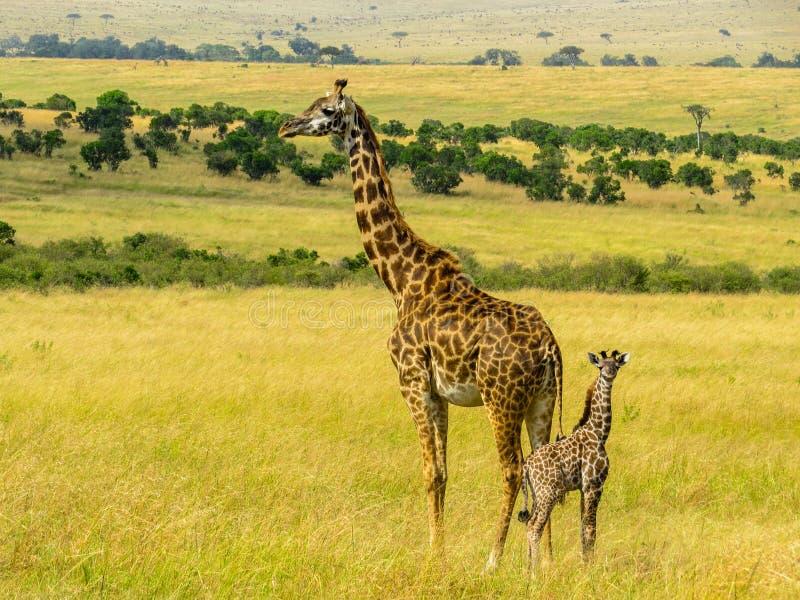 Giraff家庭 免版税图库摄影