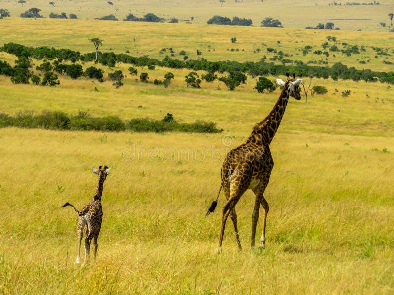 Giraff家庭 免版税库存照片