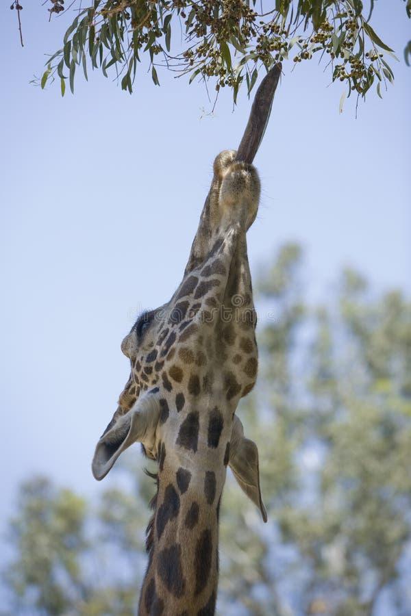 giraff 18 fotografering för bildbyråer