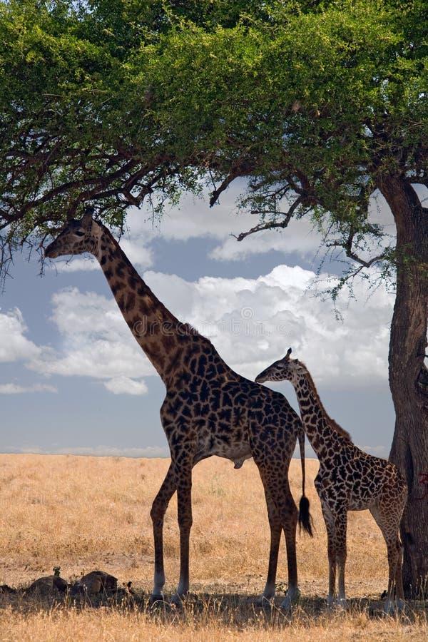 Download Giraff fotografering för bildbyråer. Bild av tree, liggande - 515321